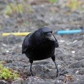 180331 13 Carrion crow