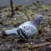 180331 14 Feral pigeon