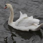 180331 16 Mute swan