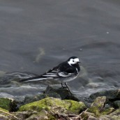 180331 19 Pied wagtail