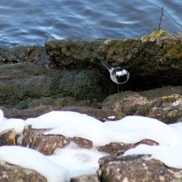 180331 3 pied wagtail contemplates snow