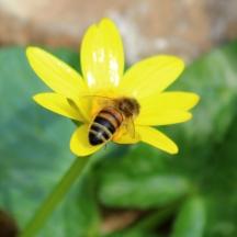 180401 minibeast (4) Honey bee