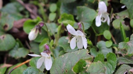 180406 sweet violets (7)