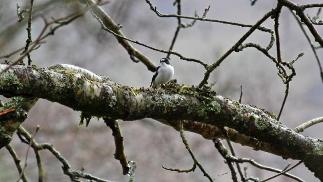 116 Pied flycatcher male