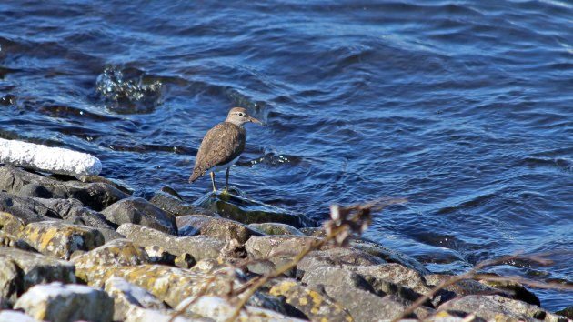 119 Common sandpiper