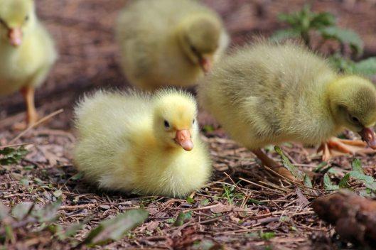 180405 Greylag goslings (5)