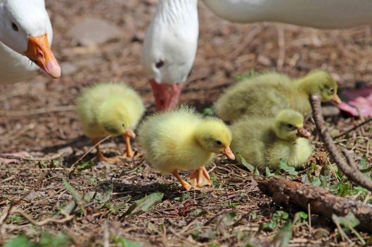 180405 Greylag goslings (8)