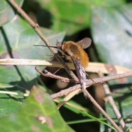 180407 bee-flies (1)