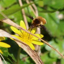 180407 bee-flies (2)