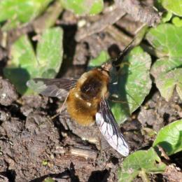 180407 bee-flies (3)