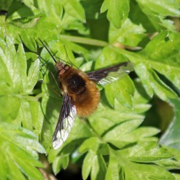 180407 bee-flies (4)