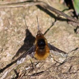 180407 bee-flies (5)