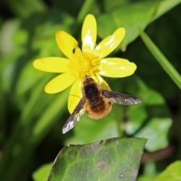 180407 bee-flies (6)