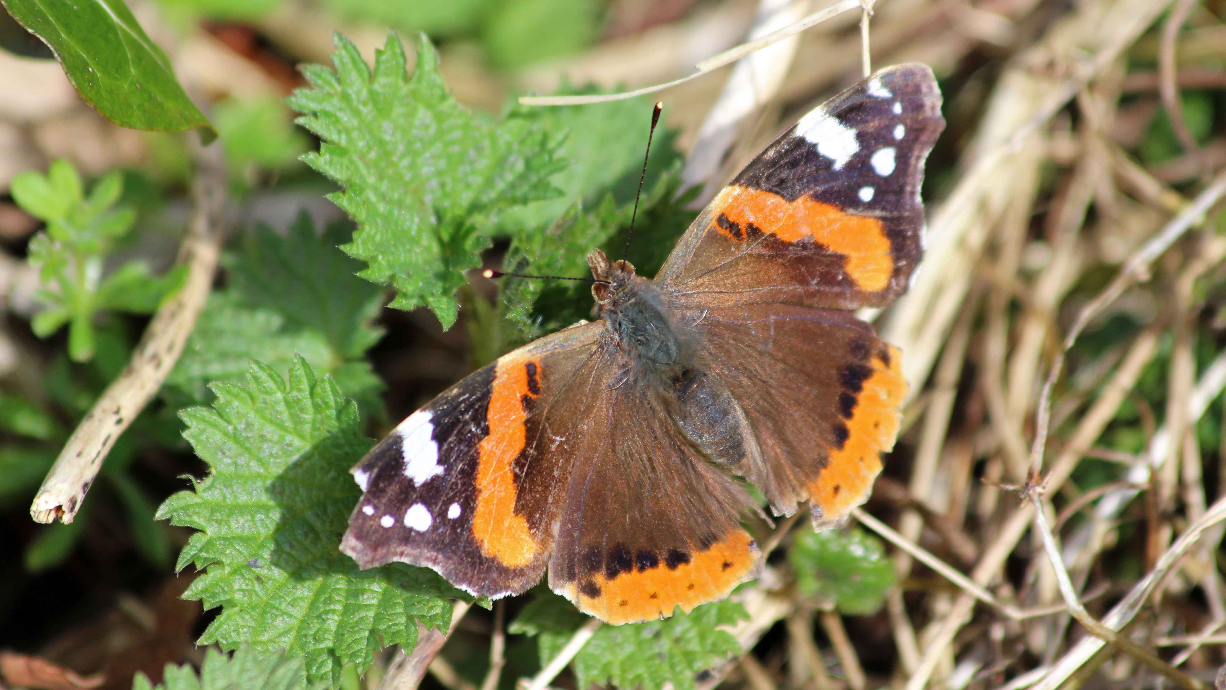 180408 Red admiral