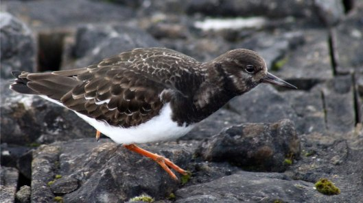 180411a Turnstone in January