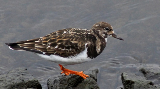 180411b Turnstone in March