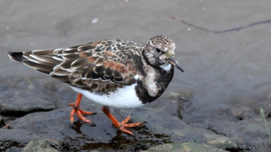 180411c Turnstone in April