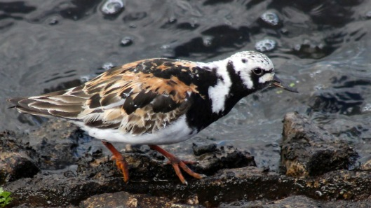 180411d Turnstone in August