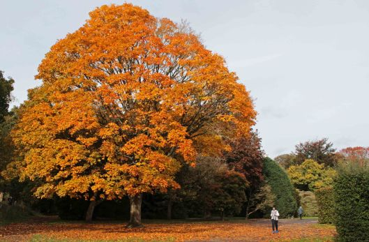 180412 Acer pictum in autumn