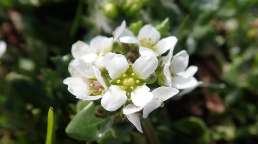 Danish scurvygrass
