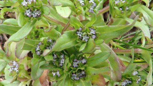 180415 Common cornsalad Valerianella locusta