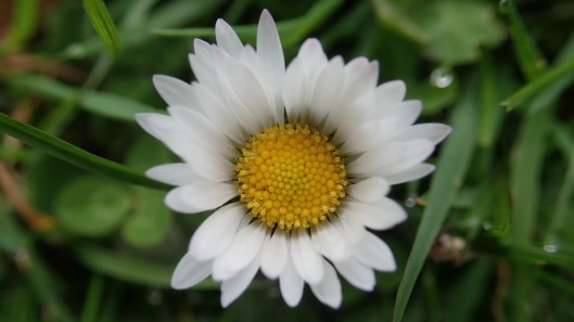 180415 Daisy Bellis perennis