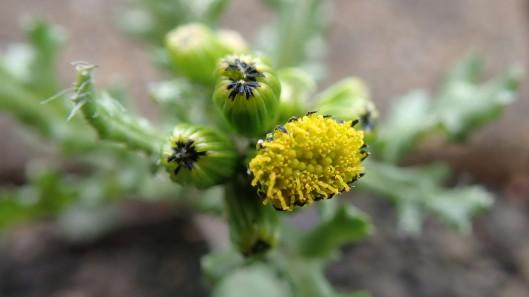 180415 Groundsel Senecio vulgaris