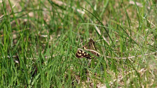 180416 5 Speckled wood