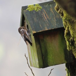180419 Pied flycatcher female
