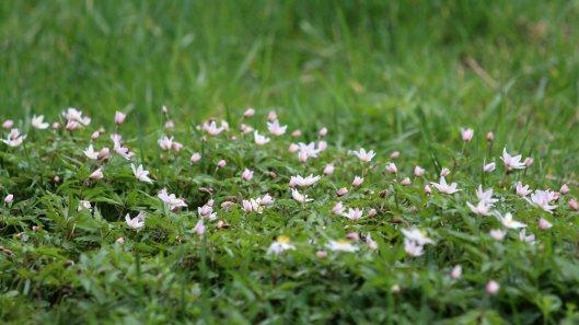 180420 wood anemone (1)