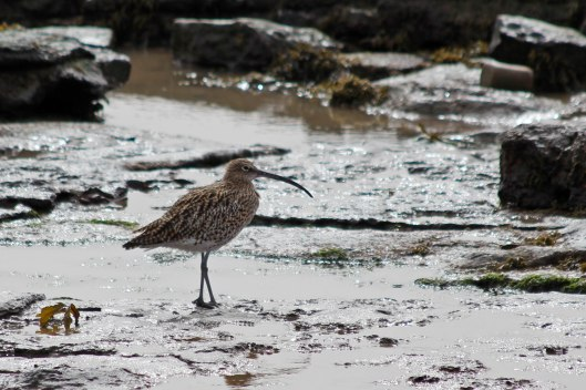 180421 curlew (3)