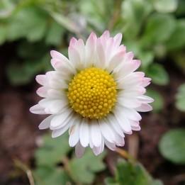 180422 daisy (2)