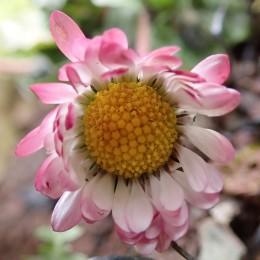 180422 daisy (3)