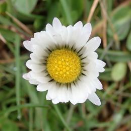 180422 daisy (5)