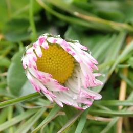 180422 daisy (7)