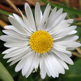 180422 daisy (8)