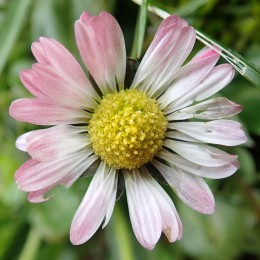 180422 daisy (9)