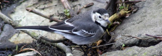 180423 Pied wagtail (1)