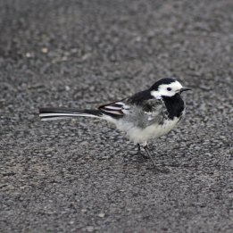 180423 Pied wagtail (10)