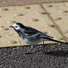 180423 Pied wagtail (11)