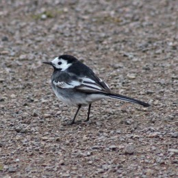 180423 Pied wagtail (3)