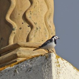 180423 Pied wagtail (4)