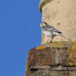 180423 Pied wagtail (5)