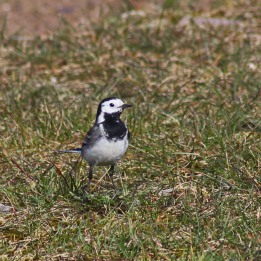 180423 Pied wagtail (6)