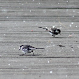 180423 Pied wagtail (7)