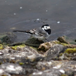 180423 Pied wagtail (8)