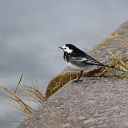 180423 Pied wagtail (9)