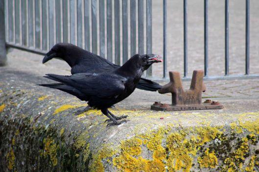 180424 raven (1)