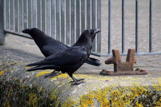 180424 raven (3)