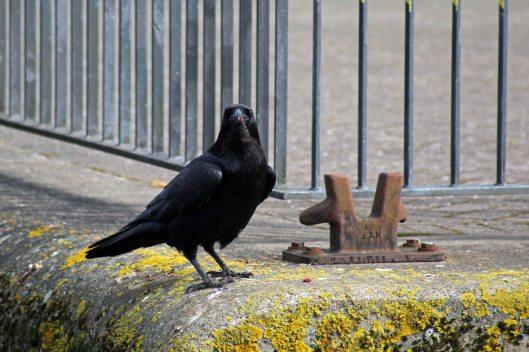 180424 raven (4)